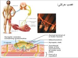دانلود پاورپوینت آناتومی و حرکت شناسی